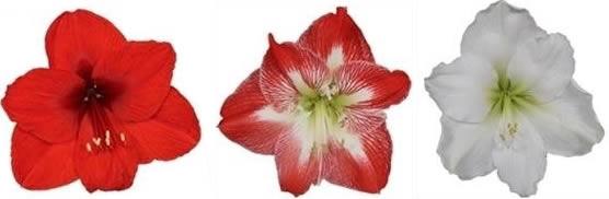 Grab a Gift - Amaryllis bol met logo bedrukken als relatiegeschenk